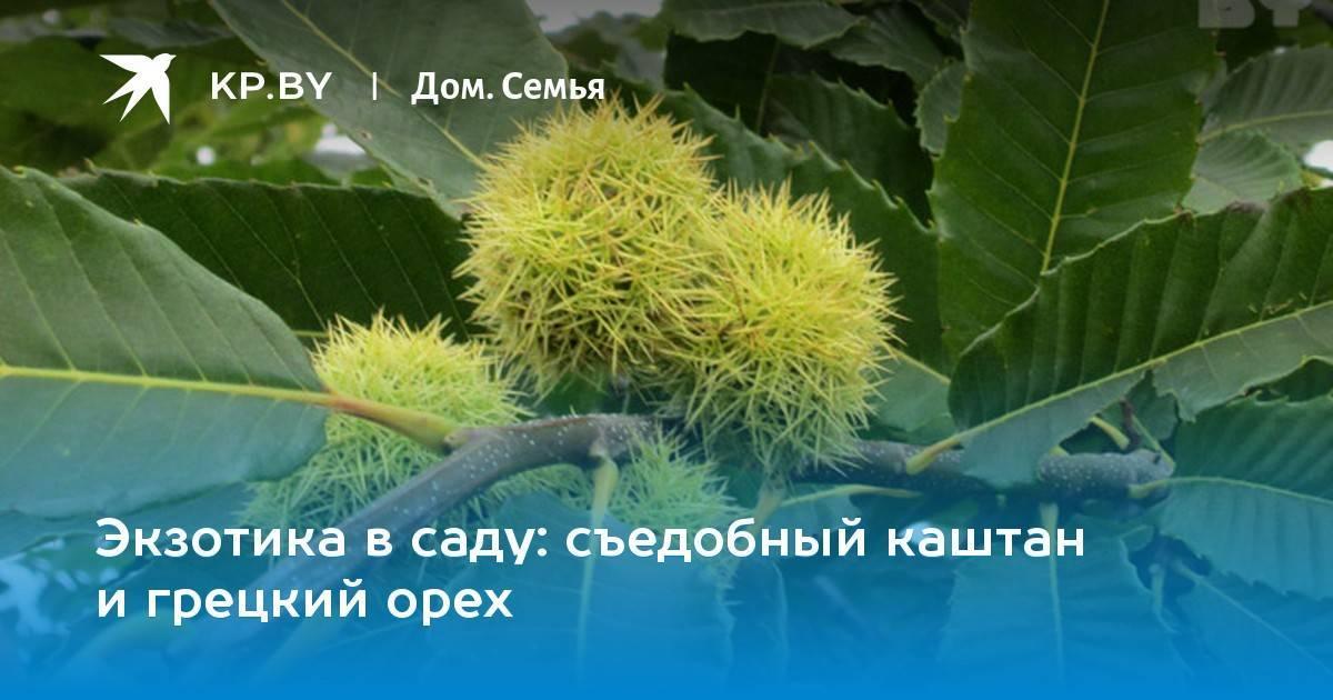 Каштан съедобный в подмосковье выращивание