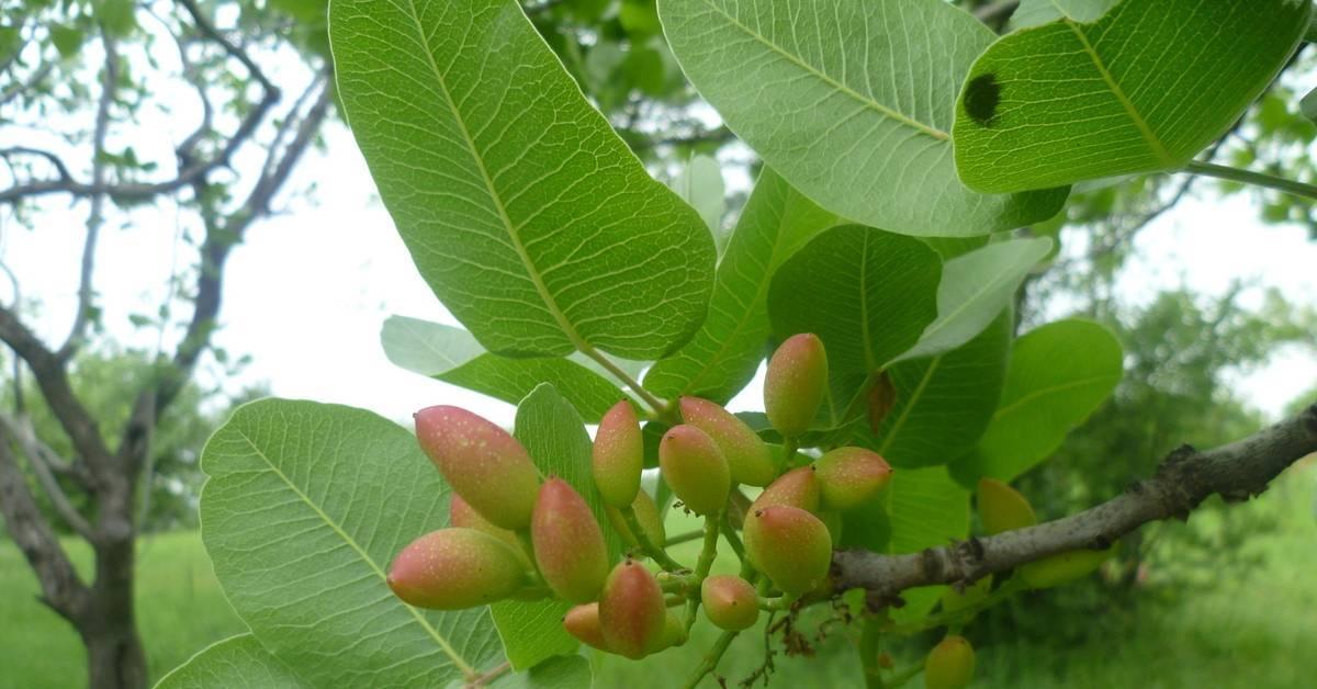 Фисташка настоящая: краткое описание деревьев и их плодов