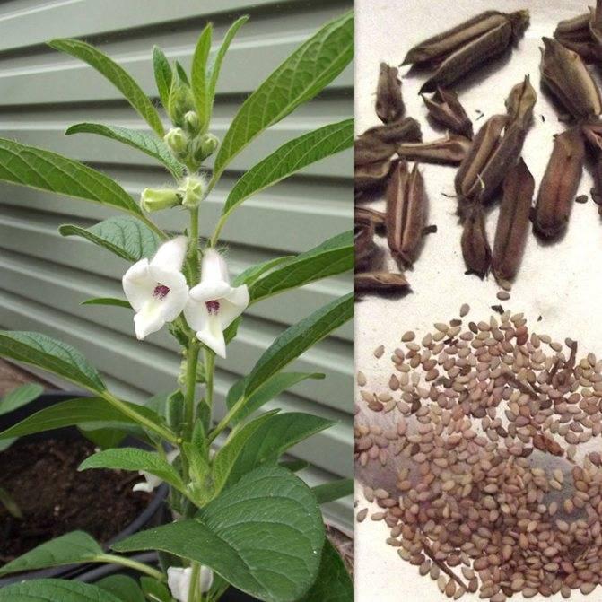 Где и как выращивать и собирать урожай кунжута?
