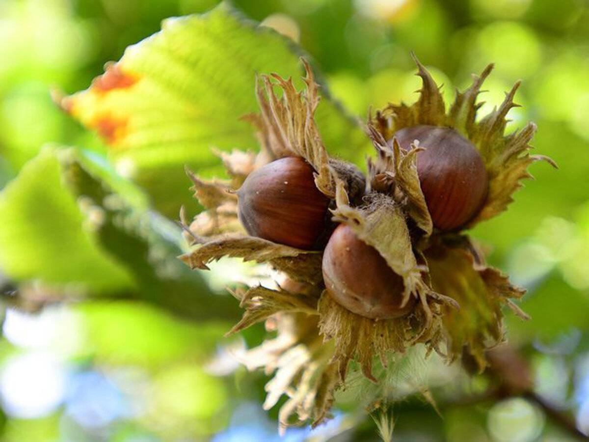 Фундук — посадка, уход и выращивание в саду
