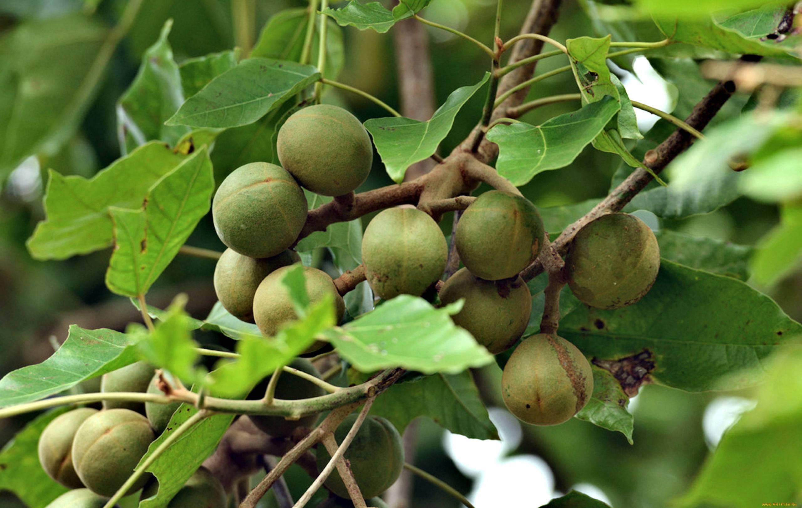 Орехи кукуи: польза, вред плодов свечного дерева, как едят, рецепты