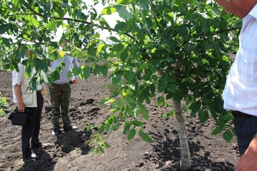 Выращивание грецкого ореха на даче: условия, выбор места, требования к почве, правила посадки, особенности ухода, режим поливов и подкормок