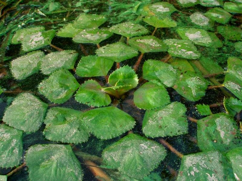 Рогульник плавающий. посадка, размножение, уход, сорта, фото на supersadovnik.ru