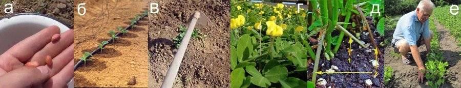 Как вырастить арахис — главные принципы ухода и посадки земляного ореха