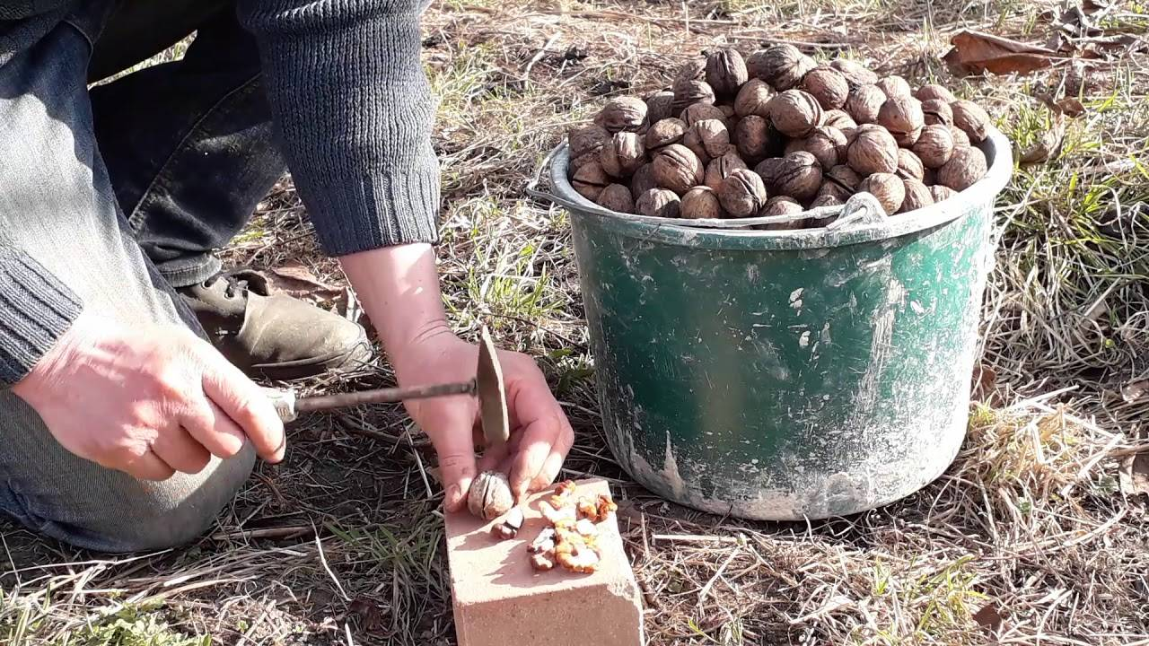 Как и где растет фундук, в том числе в природе и в россии, на каком дереве появляется лесной орех, как развивается?