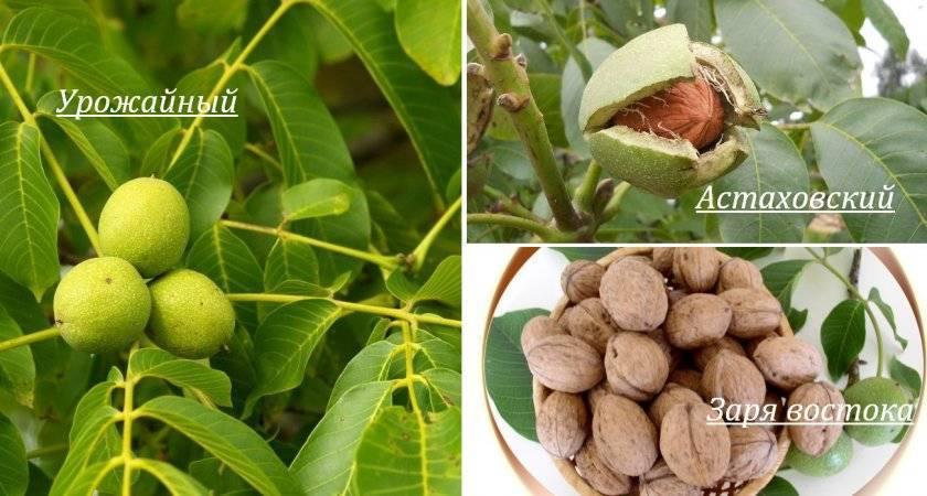 Грецкий орех в подмосковье, выращивание – zelenj.ru – все про садоводство, земледелие, фермерство и птицеводство