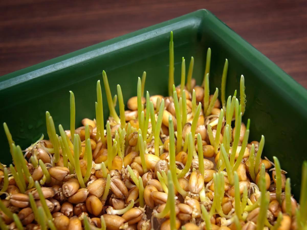 Проростки пшеницы: польза и вред для организма, как принимать и есть ростки пшеницы в домашних условиях, как проращивать для питания, советы врачей и отзывы