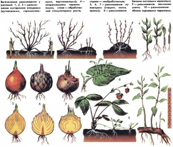 Луковичные растения: вегетативное размножение цветов | good-tips.pro
