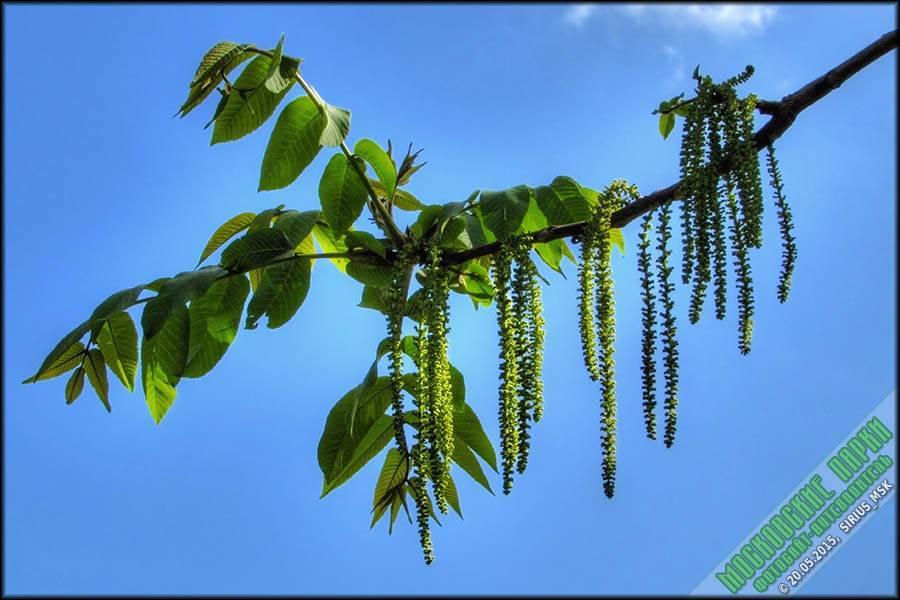 Маньчжурский орех: фото, посадка и выращивание