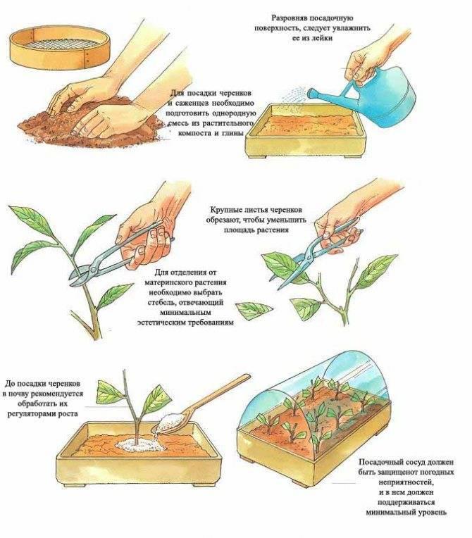 Все способы размножения миндаля и пошаговая инструкция по проведению процедуры