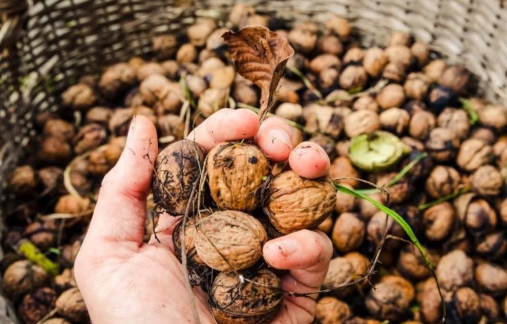 Макадамия - самые дорогие орехи в мире - zefirka