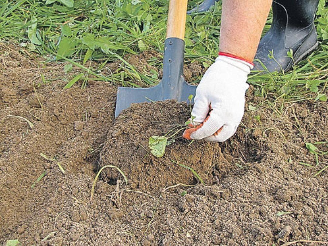 Как заделывать в почву сидераты: особенности применения