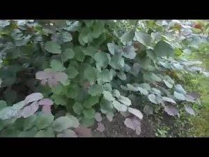Грецкий орех посадка и уход в подмосковье фото видео