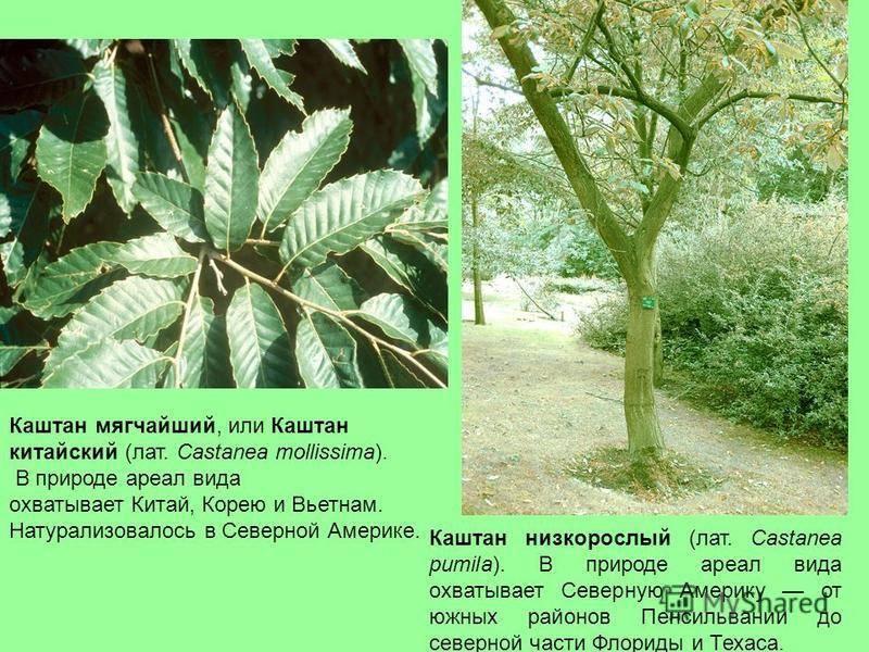 Какие существуют виды каштана: описание и характеристика. Со всех ли этих деревьев плоды можно есть?