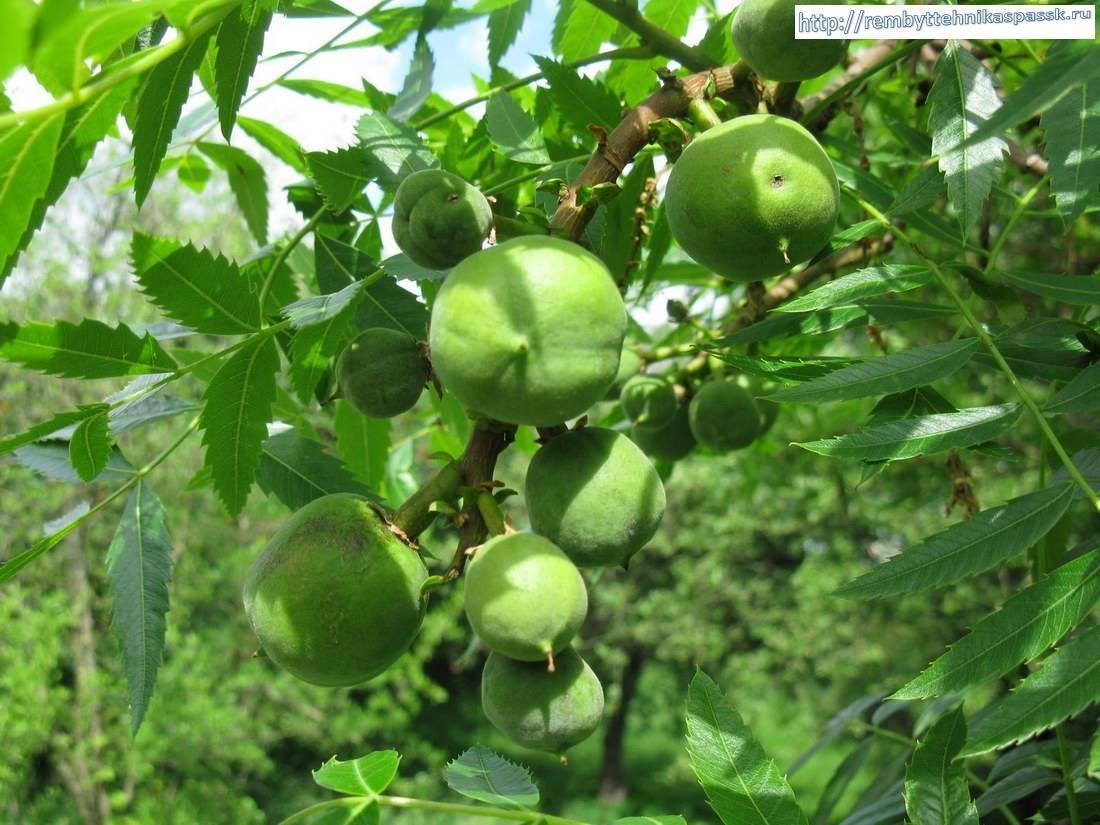 Продаются семена чекалкин орех ксантоцерас рябинолистный в интернет магазине рембыттехника с доставкой.