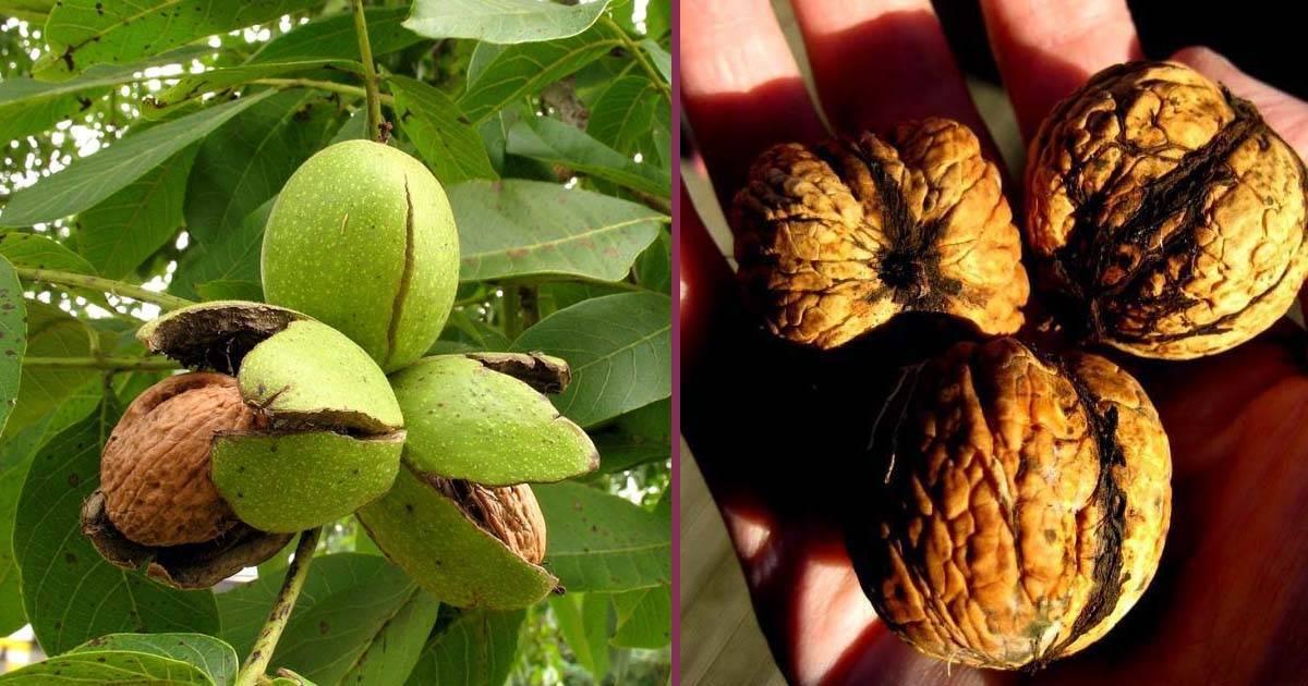Как цветет грецкий орех