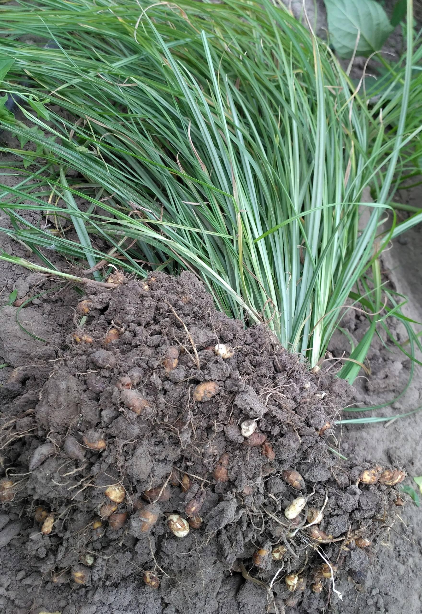 Выращивание чуфы