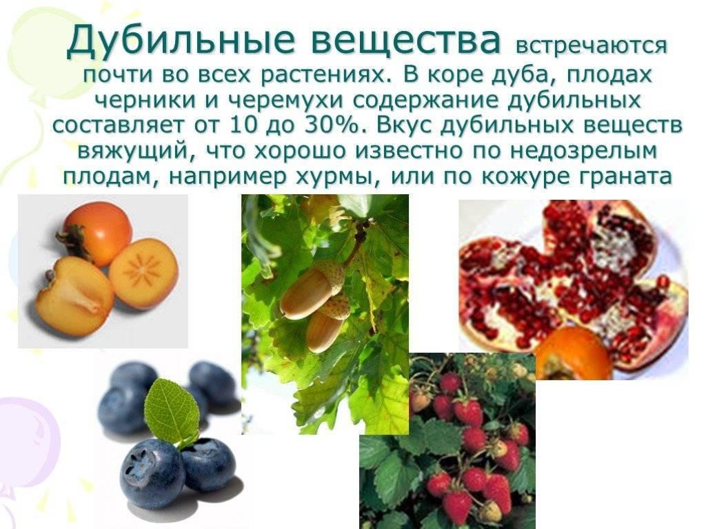 Можно ли употреблять желуди и чем полезны плоды дуба
