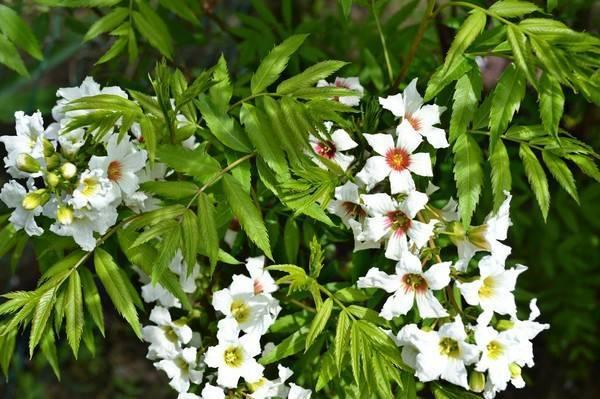 Чекалкин орех, или ксантоцерас: описание растения и его размножение, выращивание из семян и уход
