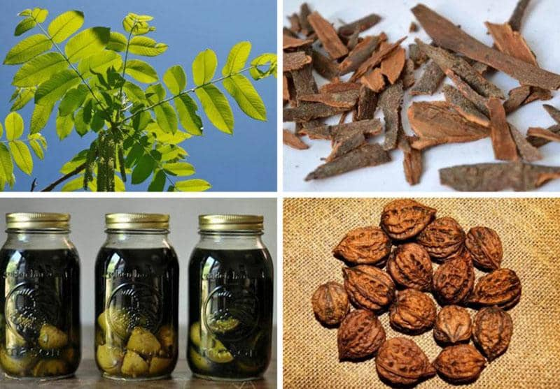 Варенье из маньчжурского ореха польза и вред рецепты приготовления