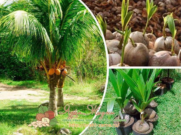 Как вырастить пальму из семян в комнатных условиях с рекомендациями по уходу