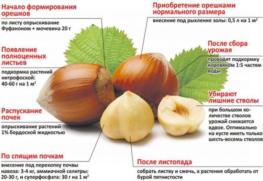 Грецкий орех: посадка и уход