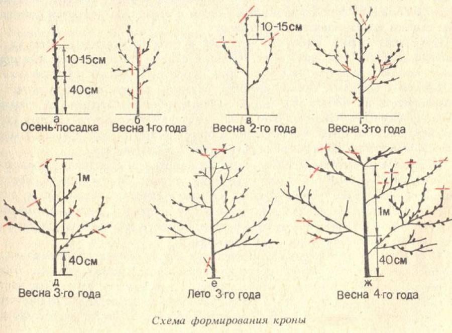Инструкция для новичков: как обрезать грецкий орех осенью по разным схемам