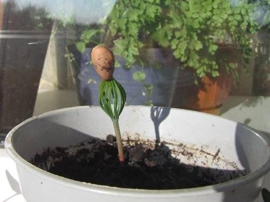 Как посадить кедровый орех в домашних условиях