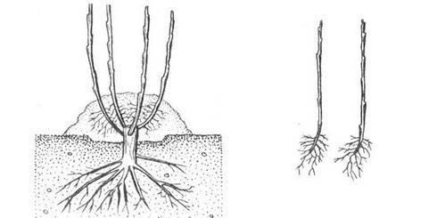 Фундук: его болезни и вредители, фото, причины, как избавиться и защитить