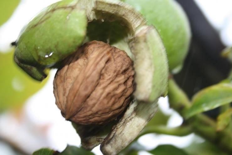 Грецкий орех плохо растет: почему не стоит заранее паниковать и что делать, если растение больно?