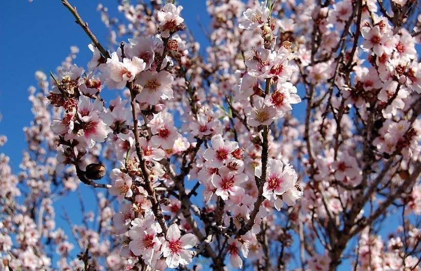 Миндаль – косточковый плод с незабываемым ароматом
