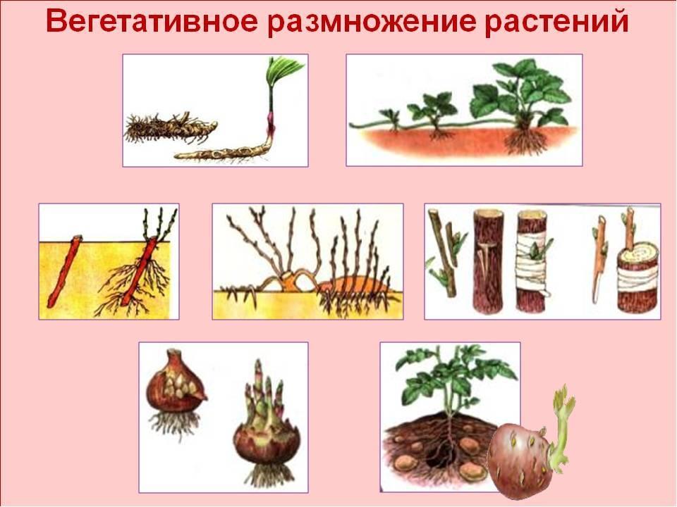 Размножение клубнями, луковицами, клубнелуковицами