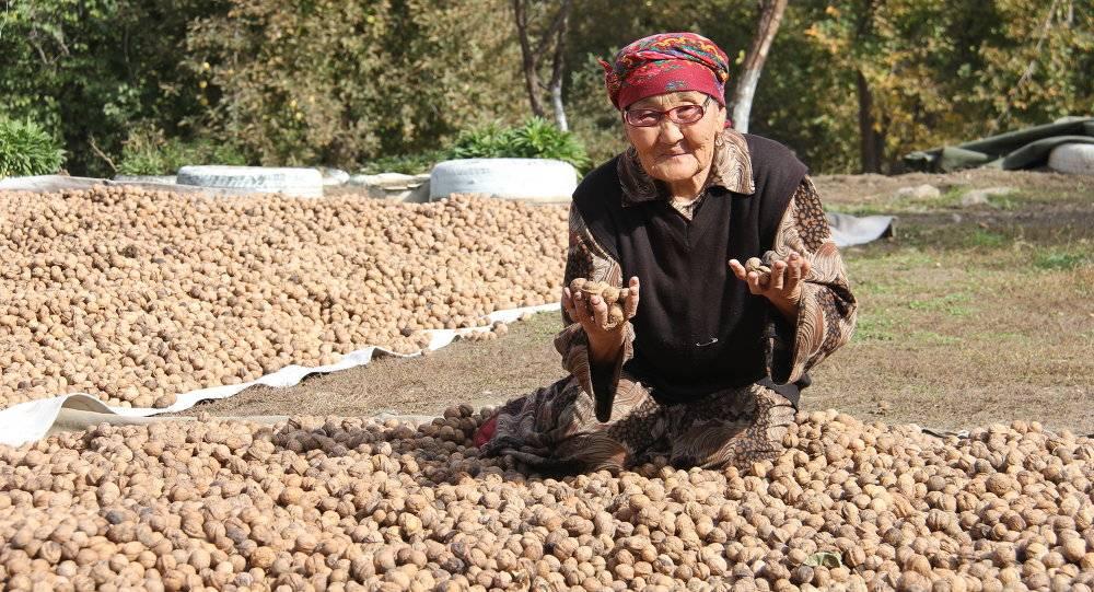 Как в Кыргызстане собирают грецкий орех