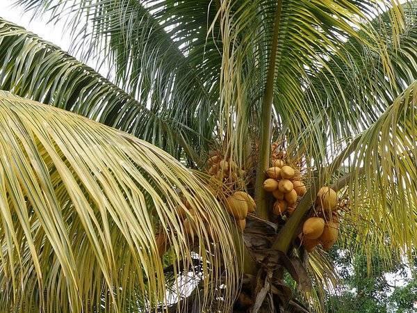 Как растут кокосы - они растут на кокосовой пальме преимущественно в юго-восточной азии