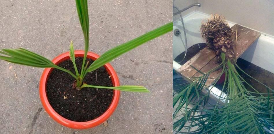 Финиковая пальма из косточки в домашних условиях: топ-7 видов и правила ухода