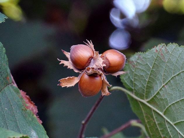 Листья, кора и плоды лещины - полезные свойства, противопоказания medistok.ru - жизнь без болезней и лекарств