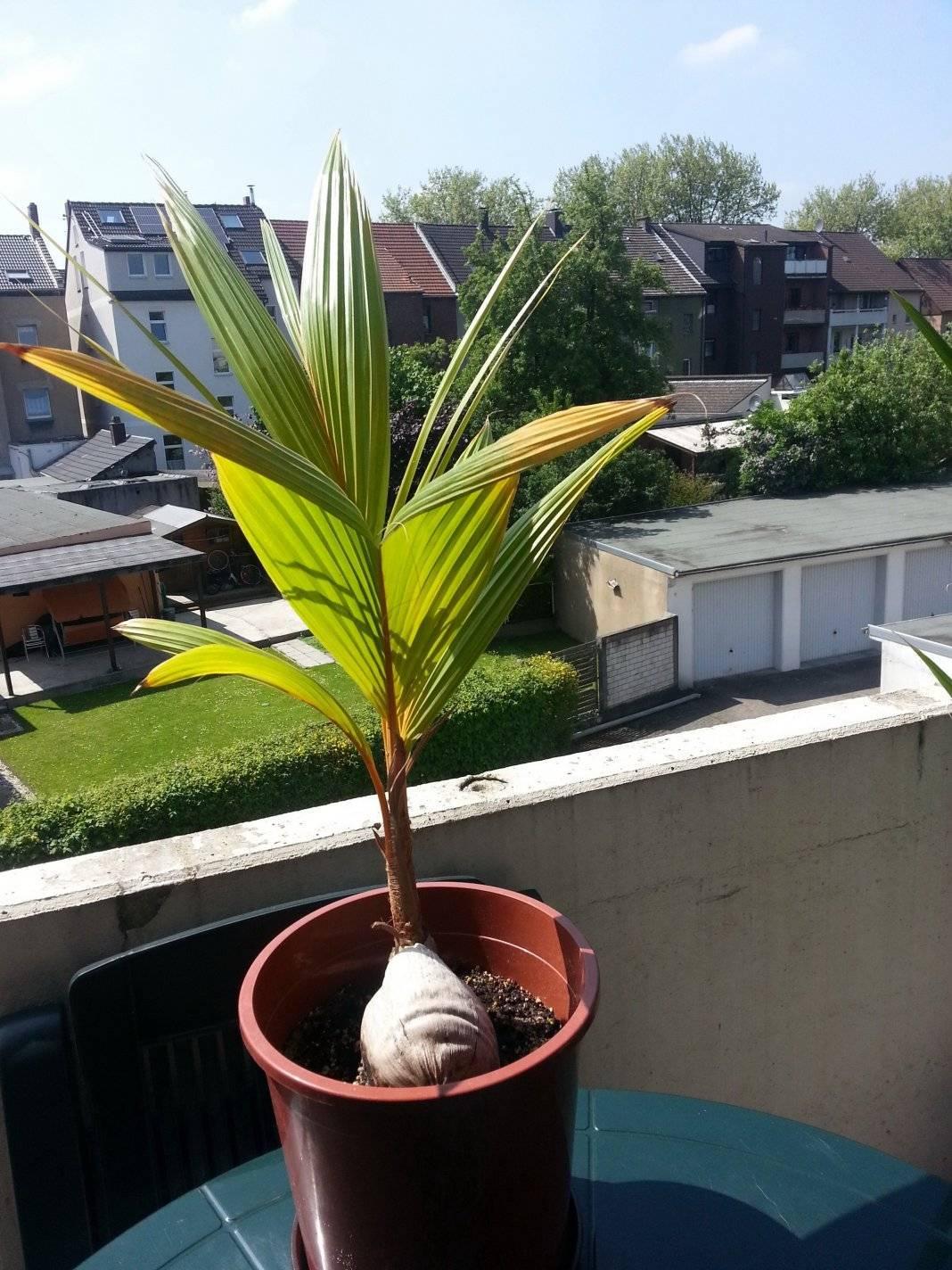 Кокосовая пальма в домашних условиях: посадка и уход, размножение, болезни и удобрения, фото, описание