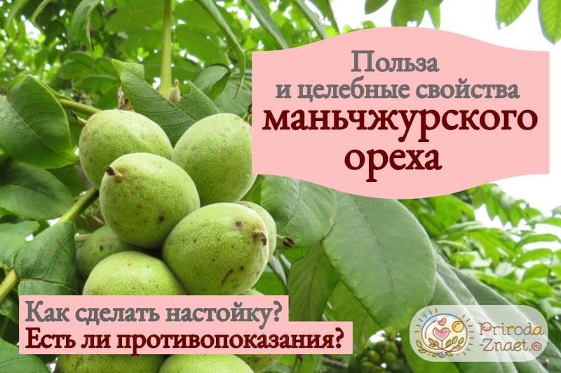 Настойка маньчжурского ореха: как приготовить и рецепты лечения