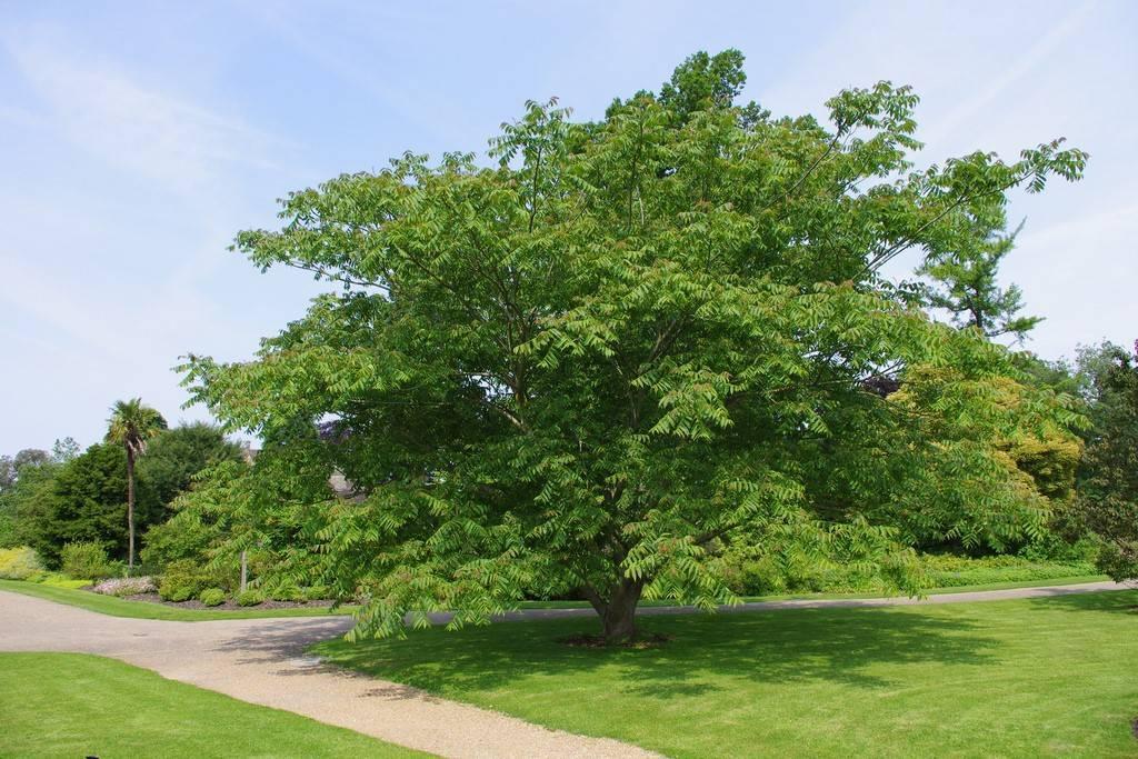 Маньчжурский орех: посадка, выращивание и уход