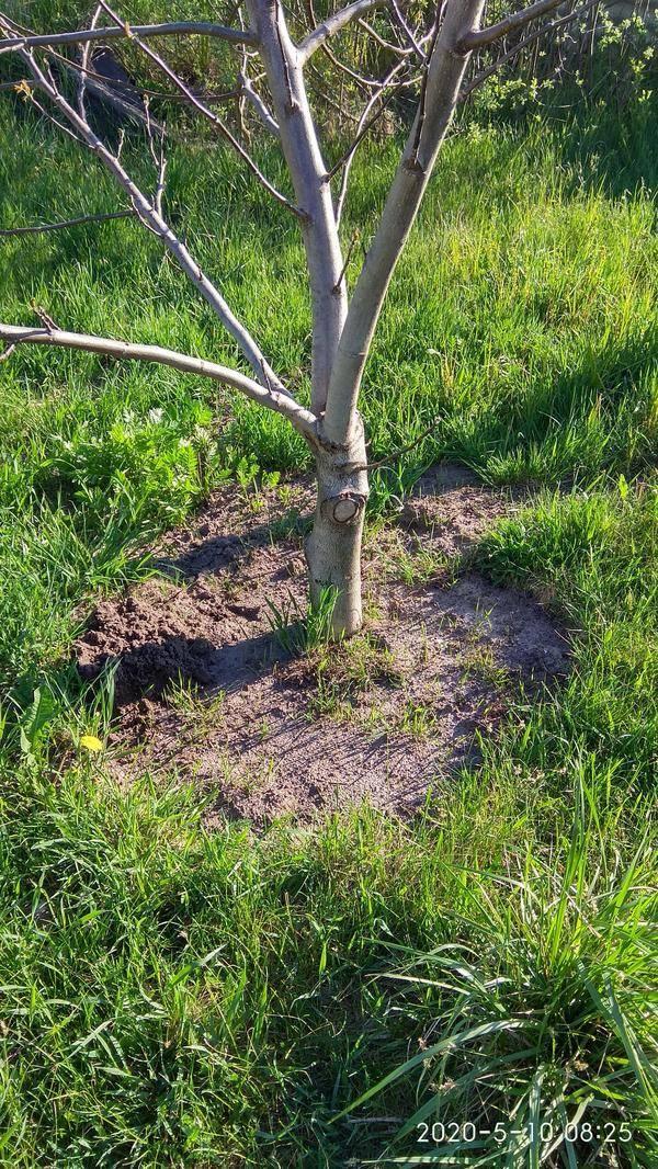 Как посадить грецкий орех весной, осенью с фото и видео