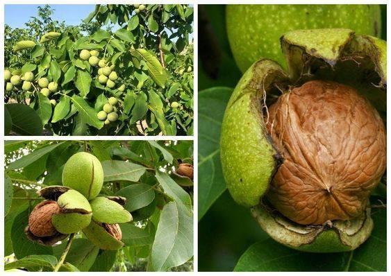 Когда собирать, как сушить и хранить грецкие орехи в домашних условиях: очищенные и в скорлупе