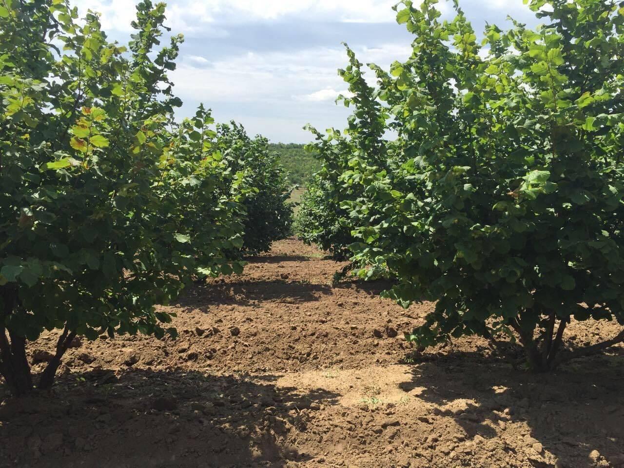Фундук трапезунд: описание сорта и особенности выращивания | огородники