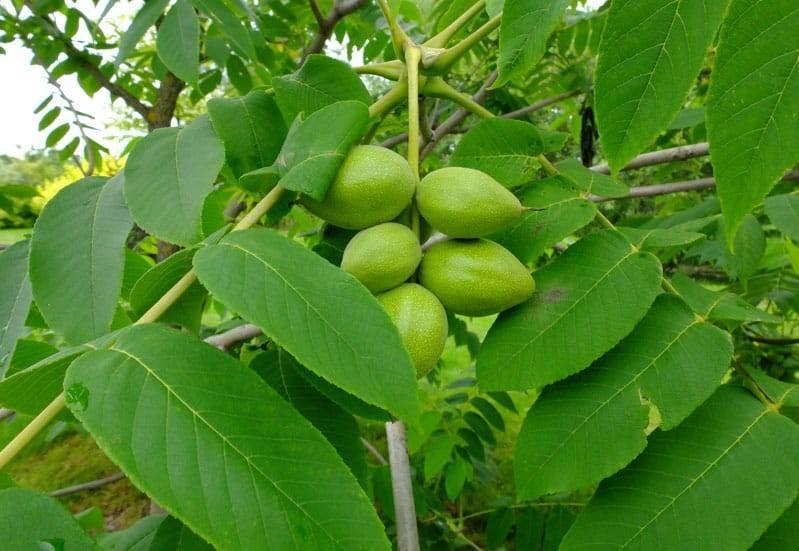 Маньчжурский орех на дачном участке