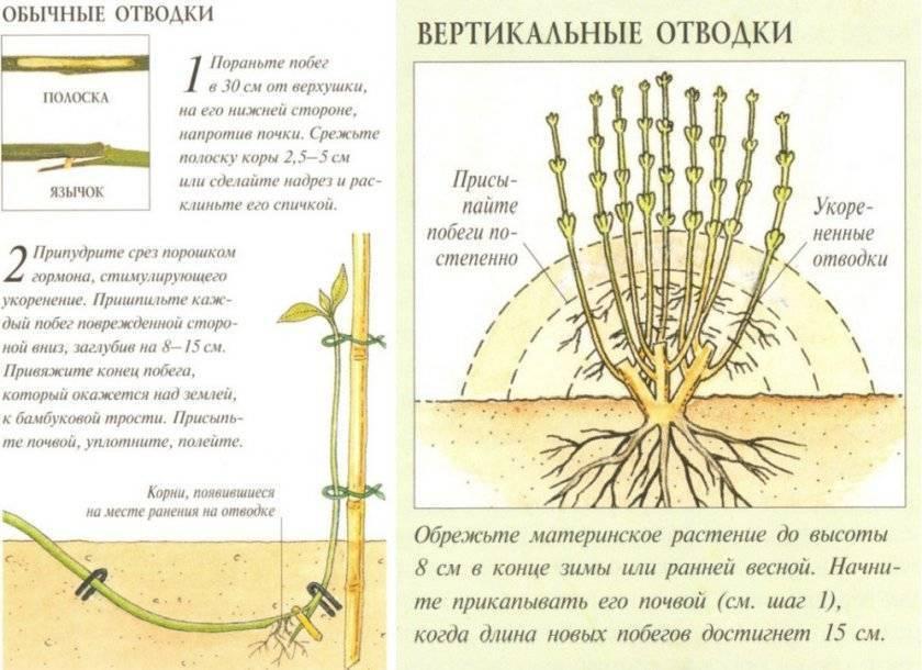 Размножение лещины или фундука черенками, отводками, прививкой, делением куста