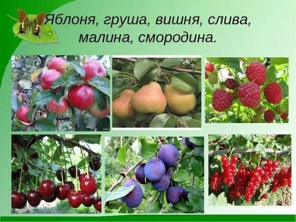 Плодовые и ягодные культуры / энциклопедия растений / асиенда.ру