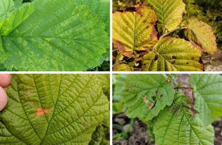 Лещина: полезные свойства и противопоказания, рецепты из коры, листьев и почек