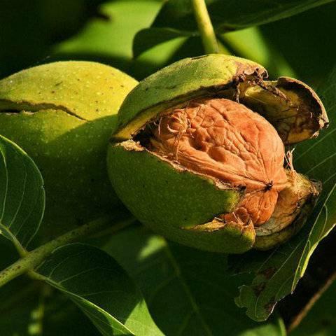 Как заставить грецкий орех плодоносить