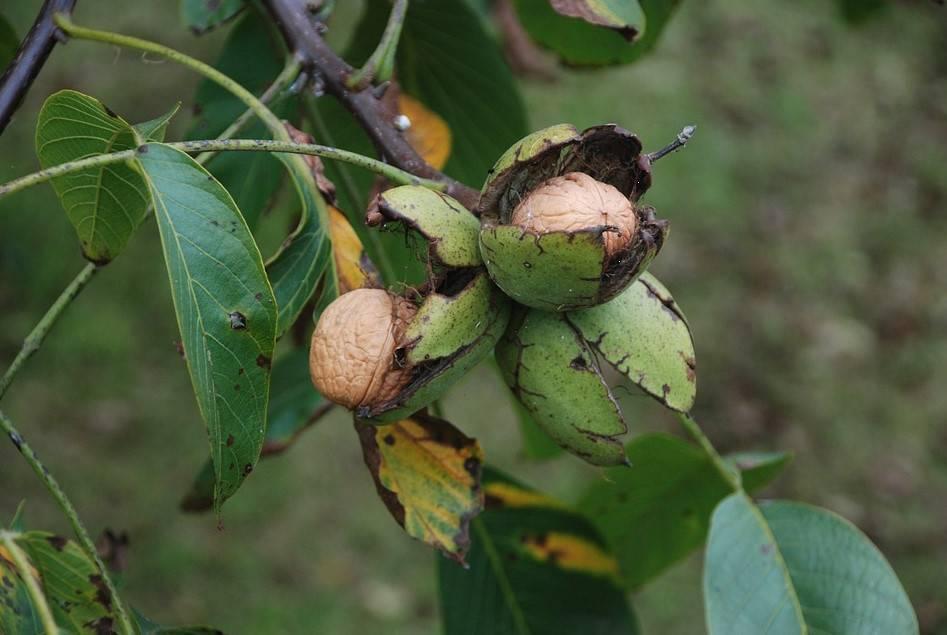 Особенности выращивания грецкого ореха из саженцев