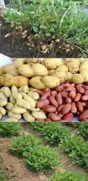 Земляной орех — как вырастить арахис своими руками? польза, вред и особенности выращивания (105 фото)