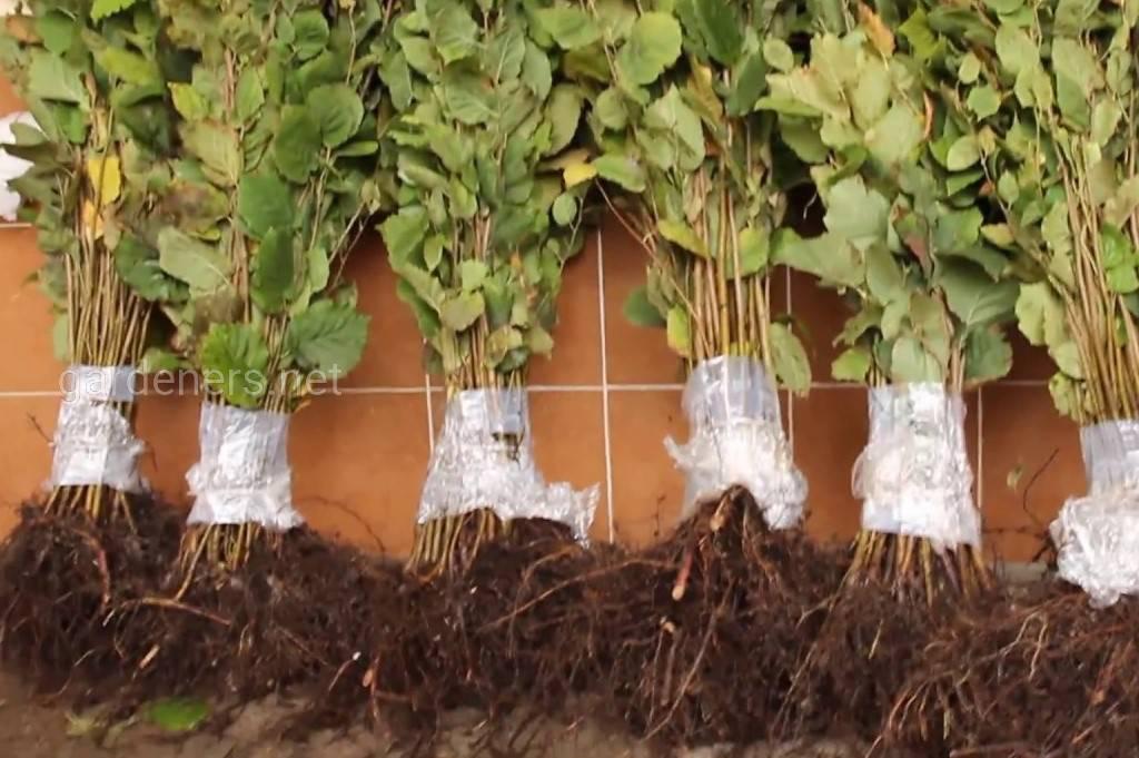 Промышленное выращивание фундука   аппяпм